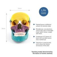 Skull Coloured
